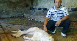 Cristian Eusebi con il vitellino ucciso dai lupi