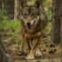 Il lupo, uno degli animali del nostro territorio