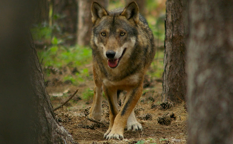 Attualità danni provocati dai lupi una mozione arriva in regione