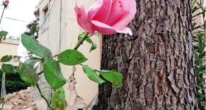 """Copertina del libro di Giammario Borri, """"La rosa del mio giardino"""""""