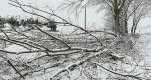 Uno dei tanti alberi caduti sul territorio settempedano a causa della neve