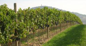 Le vigne della Fattoria Colmone della Marca