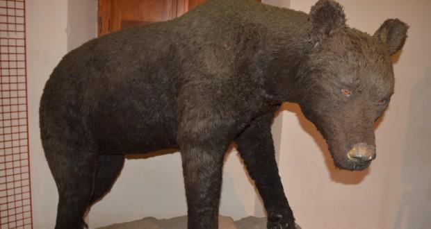 La fedele ricostruzione dell'orso bruno marsicano esposta a San Domenico