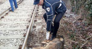 Il lupo ucciso dal treno