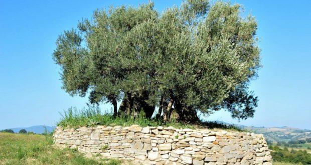 L'ulivo plurisecolare in cui si raccoglieva in preghiera la Beata Francesca del Serrone