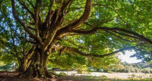 Uno degli alberi della faggeta di Canfaito