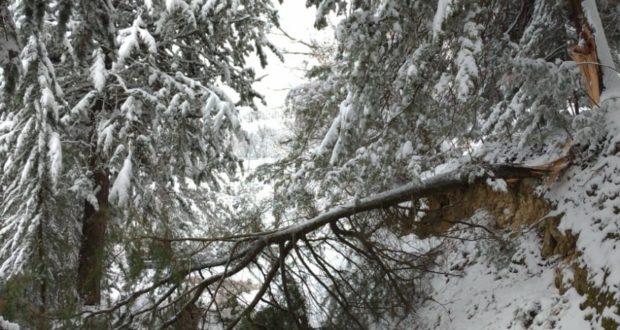 L'albero piegato dalla neve