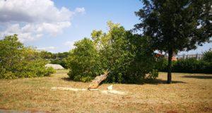 Uno degli alberi tagliato